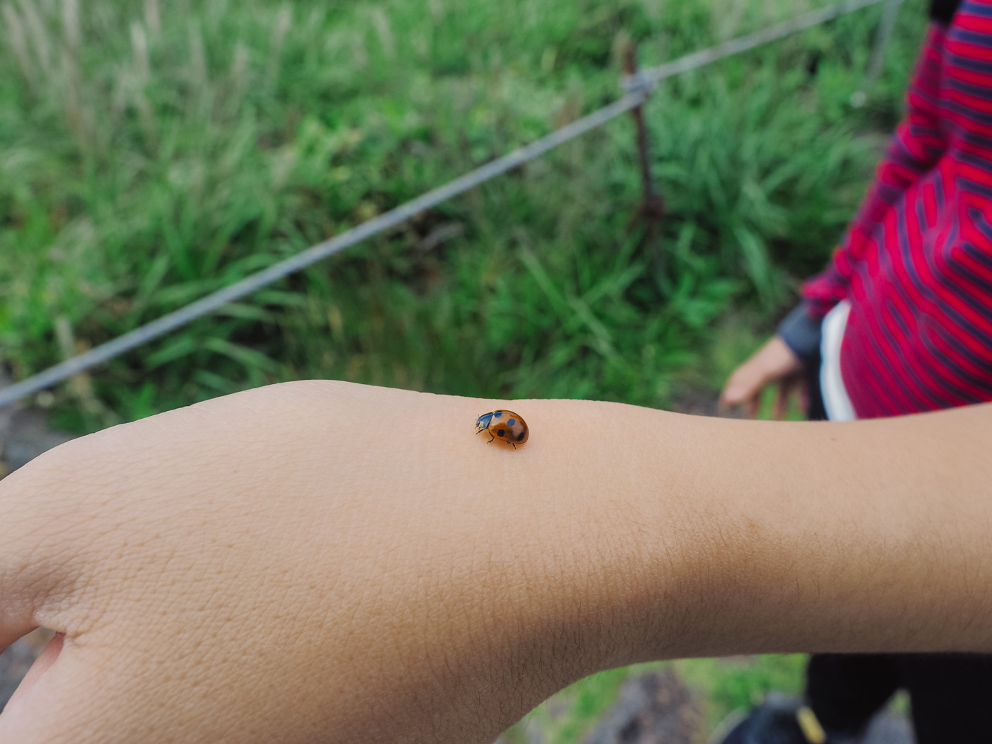 Korea - Mt Hallasan - Lady bird on wy's hand
