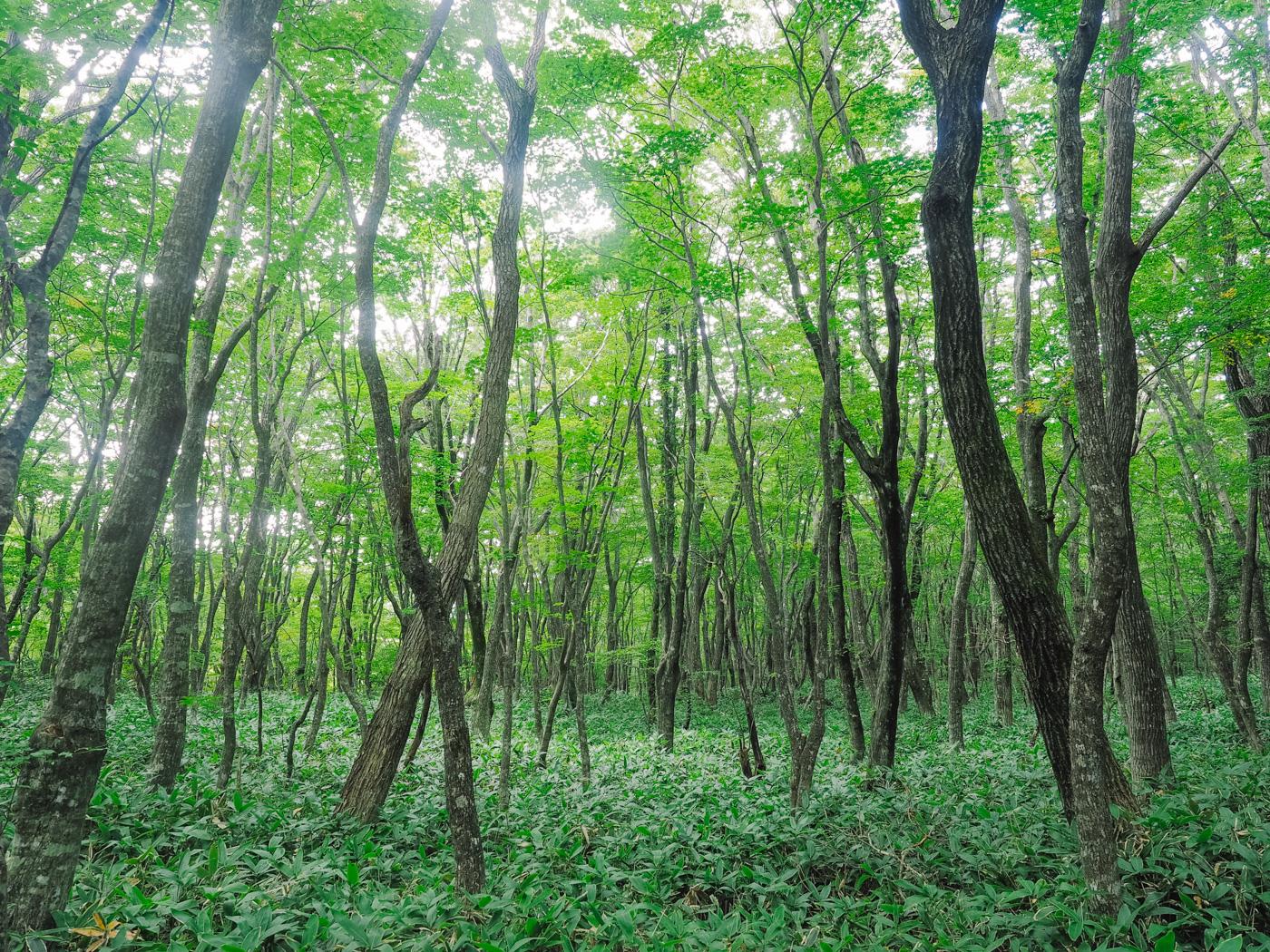 Korea - Mt Hallasan - Misty looking forest