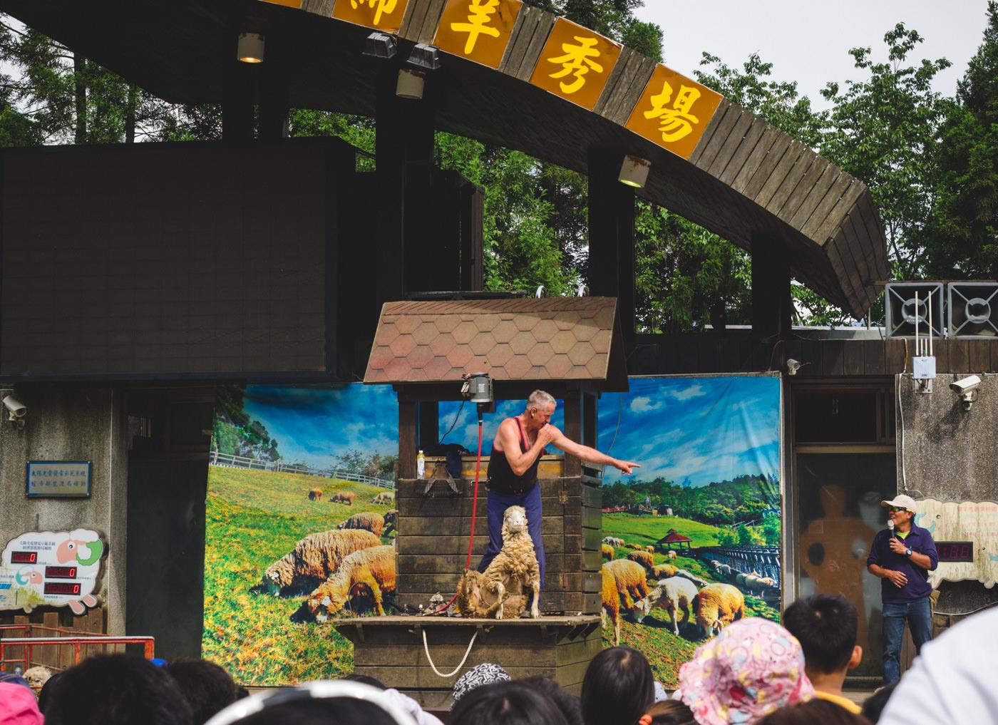 Taiwan - Qingjing Farm - Showing how to shave down a sheep